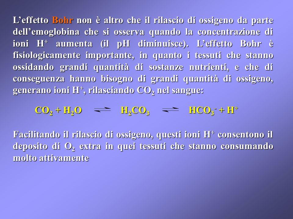 L'effetto Bohr non è altro che il rilascio di ossigeno da parte dell'emoglobina che si osserva quando la concentrazione di ioni H+ aumenta (il pH diminuisce). L'effetto Bohr è fisiologicamente importante, in quanto i tessuti che stanno ossidando grandi quantità di sostanze nutrienti, e che di conseguenza hanno bisogno di grandi quantità di ossigeno, generano ioni H+, rilasciando CO2 nel sangue: