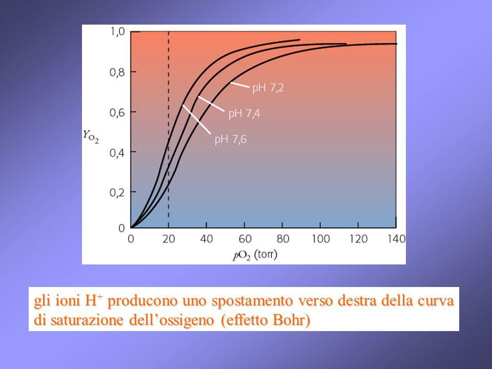 gli ioni H+ producono uno spostamento verso destra della curva di saturazione dell'ossigeno (effetto Bohr)