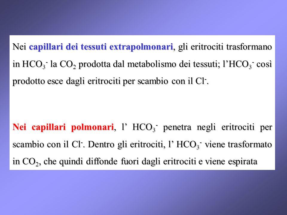 Nei capillari dei tessuti extrapolmonari, gli eritrociti trasformano in HCO3- la CO2 prodotta dal metabolismo dei tessuti; l'HCO3- così prodotto esce dagli eritrociti per scambio con il Cl-.