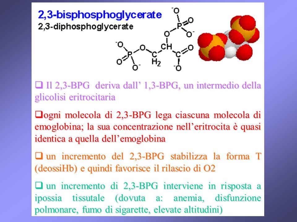 Il 2,3-BPG deriva dall' 1,3-BPG, un intermedio della glicolisi eritrocitaria