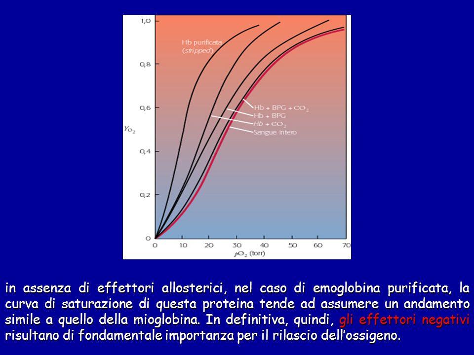 in assenza di effettori allosterici, nel caso di emoglobina purificata, la curva di saturazione di questa proteina tende ad assumere un andamento simile a quello della mioglobina.