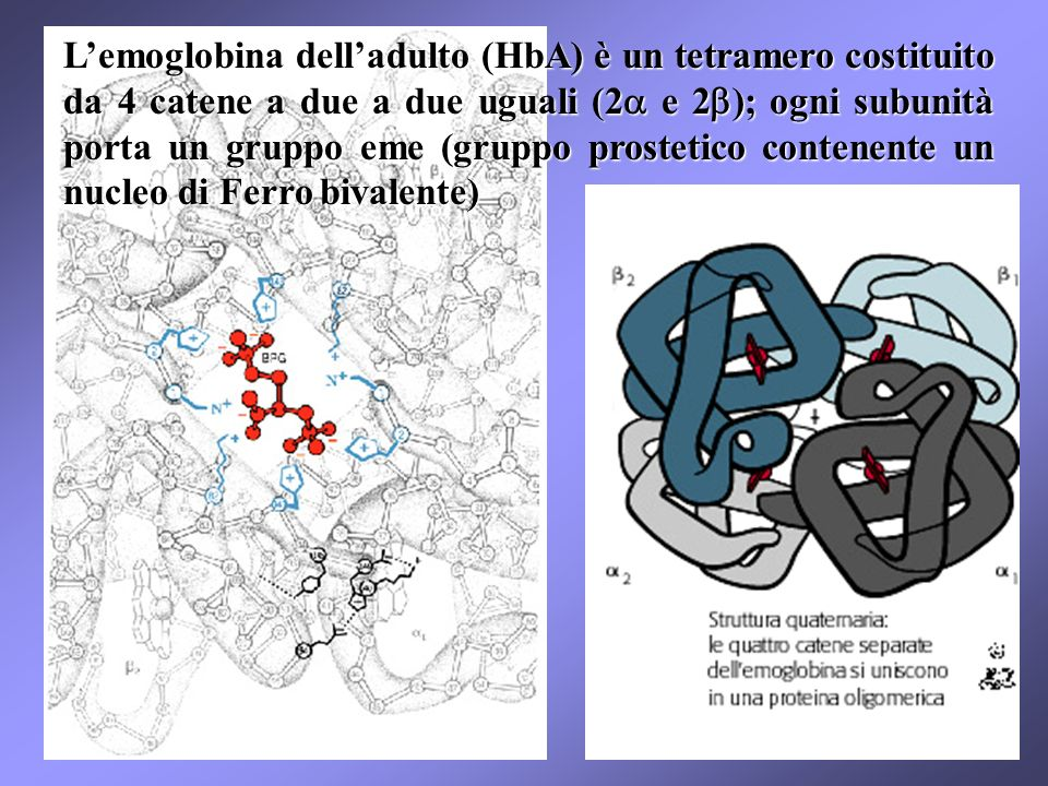 L'emoglobina dell'adulto (HbA) è un tetramero costituito da 4 catene a due a due uguali (2a e 2b); ogni subunità porta un gruppo eme (gruppo prostetico contenente un nucleo di Ferro bivalente)