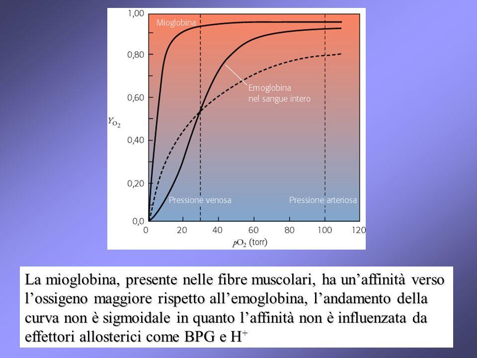 La mioglobina, presente nelle fibre muscolari, ha un'affinità verso l'ossigeno maggiore rispetto all'emoglobina, l'andamento della curva non è sigmoidale in quanto l'affinità non è influenzata da effettori allosterici come BPG e H+