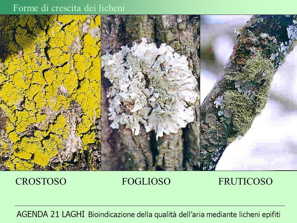 Forme di crescita dei licheni
