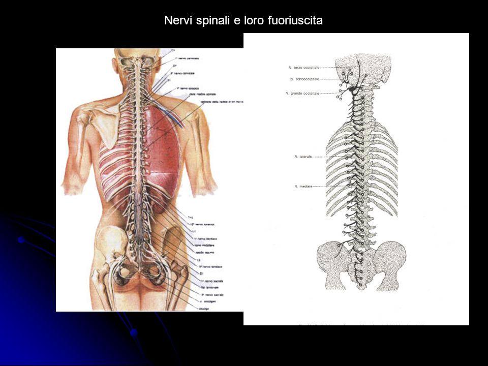 Nervi spinali e loro fuoriuscita