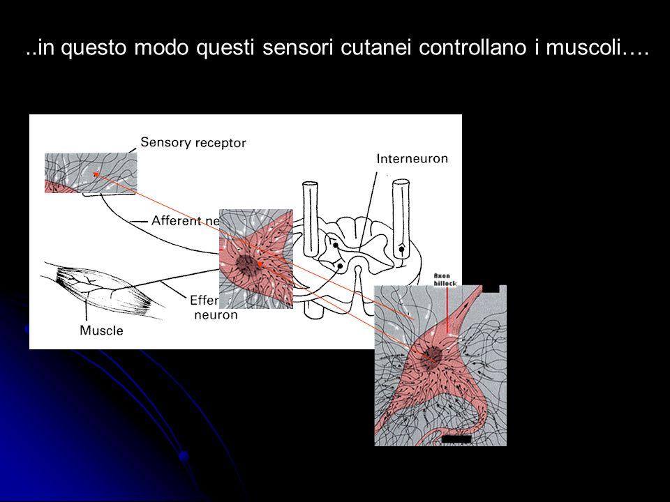 ..in questo modo questi sensori cutanei controllano i muscoli….