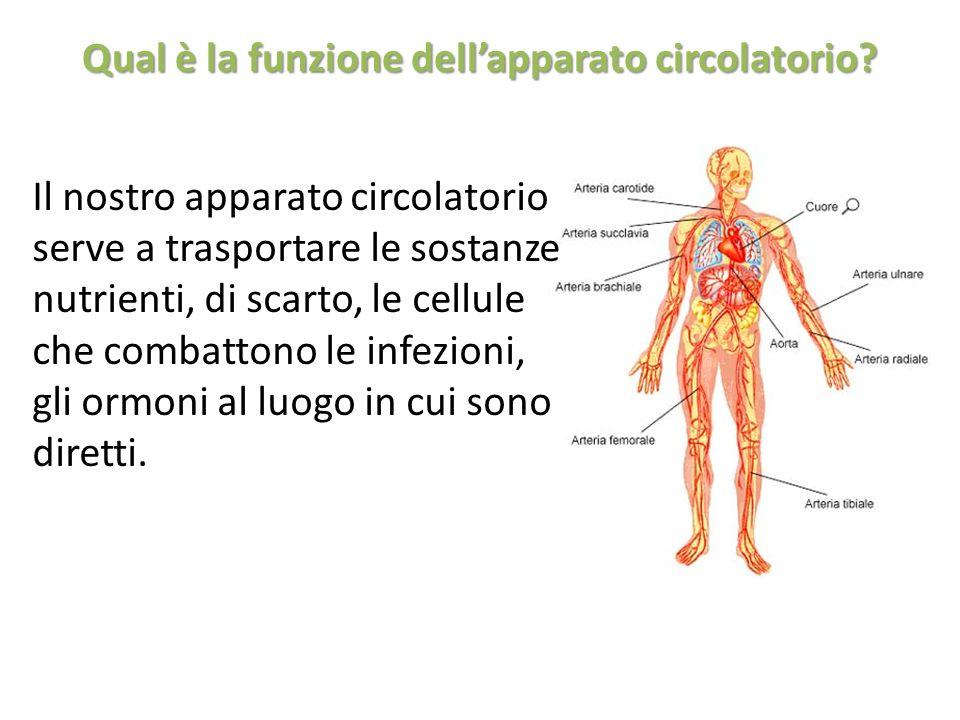 Qual è la funzione dell'apparato circolatorio
