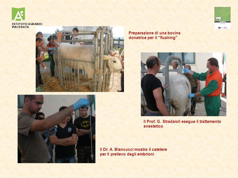 Preparazione di una bovina donatrice per il flushing