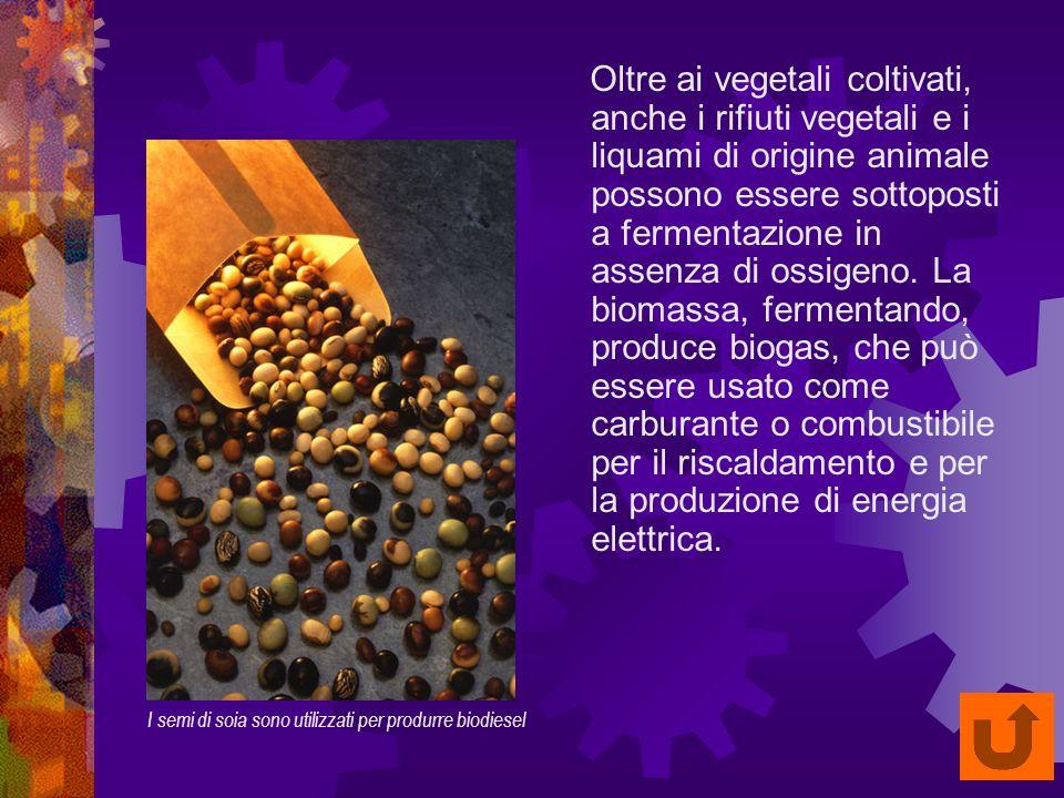 I semi di soia sono utilizzati per produrre biodiesel