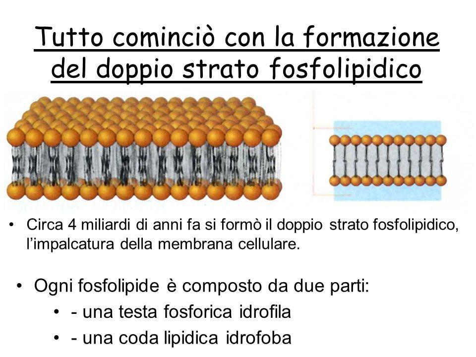 Tutto cominciò con la formazione del doppio strato fosfolipidico