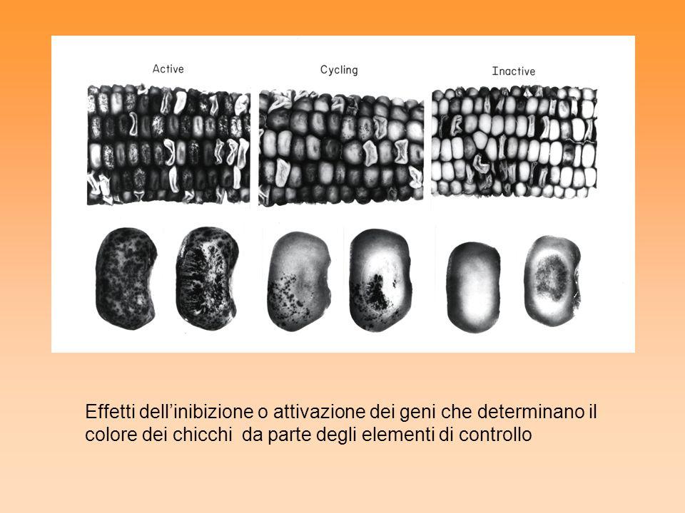 Effetti dell'inibizione o attivazione dei geni che determinano il colore dei chicchi da parte degli elementi di controllo