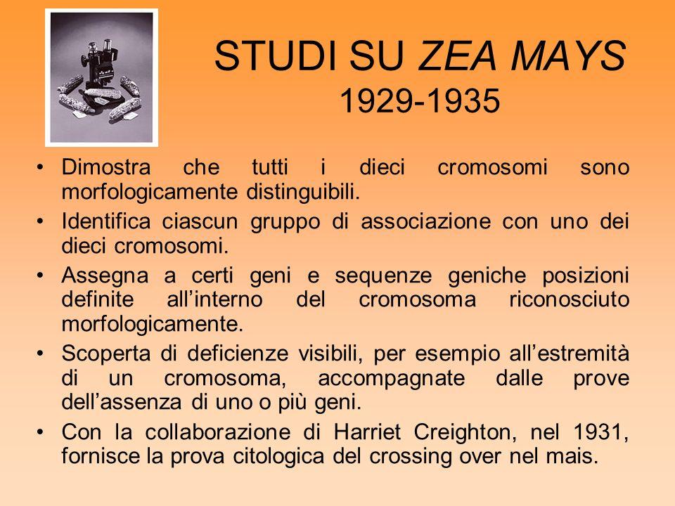 STUDI SU ZEA MAYS 1929-1935 Dimostra che tutti i dieci cromosomi sono morfologicamente distinguibili.