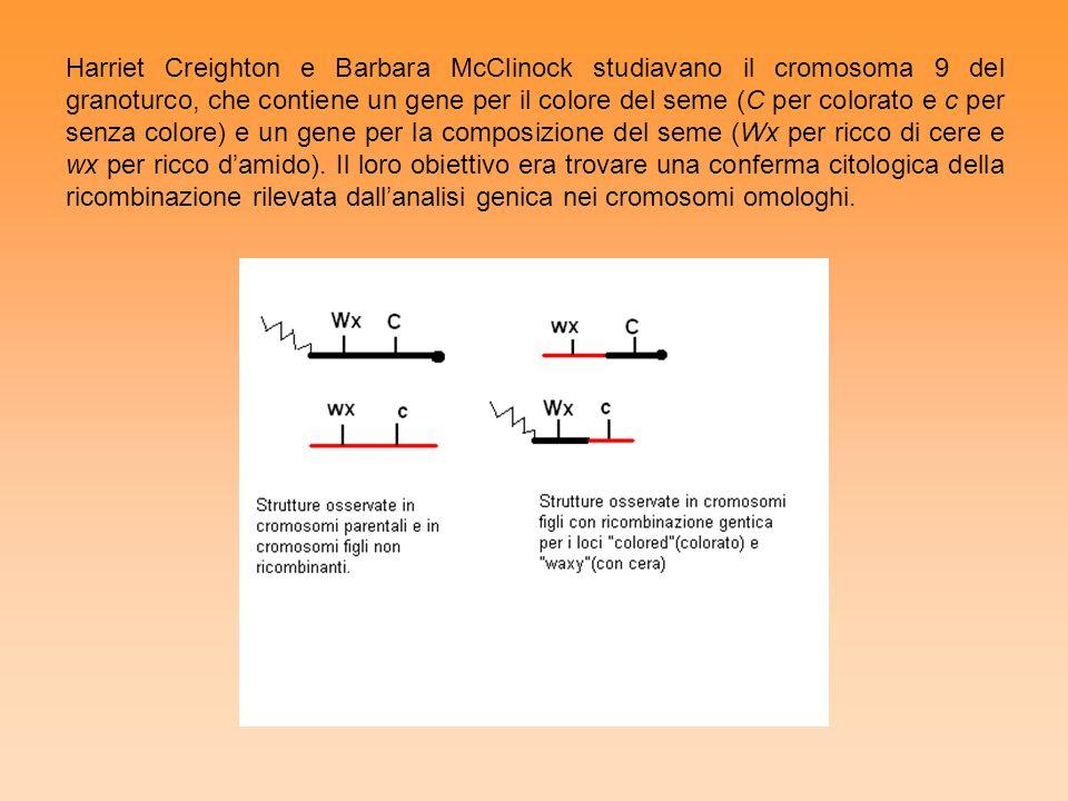 Harriet Creighton e Barbara McClinock studiavano il cromosoma 9 del granoturco, che contiene un gene per il colore del seme (C per colorato e c per senza colore) e un gene per la composizione del seme (Wx per ricco di cere e wx per ricco d'amido).