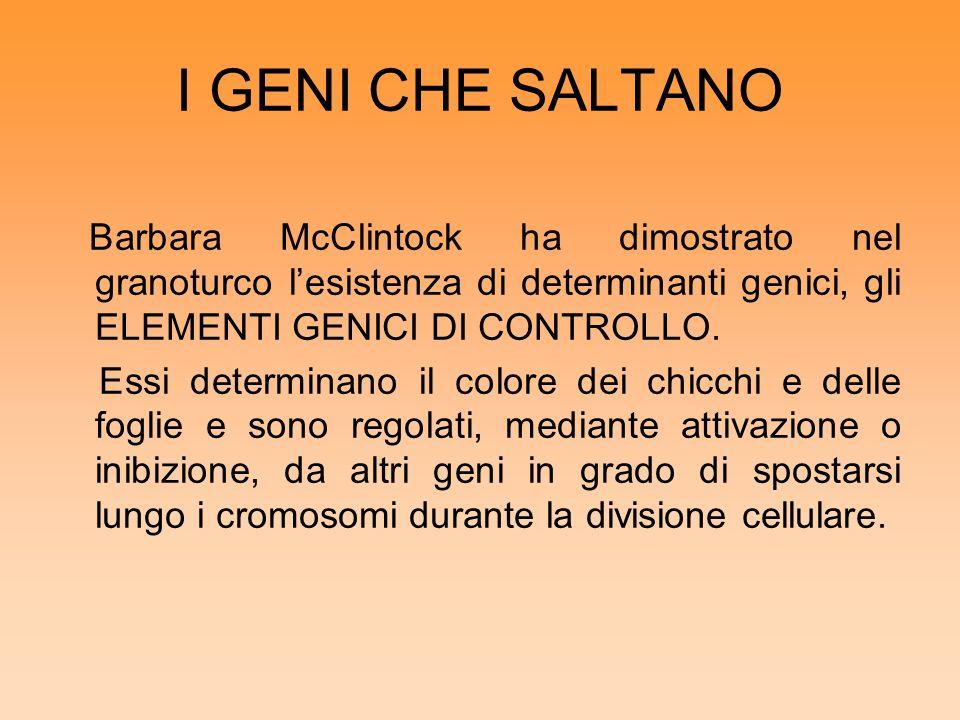 I GENI CHE SALTANO Barbara McClintock ha dimostrato nel granoturco l'esistenza di determinanti genici, gli ELEMENTI GENICI DI CONTROLLO.