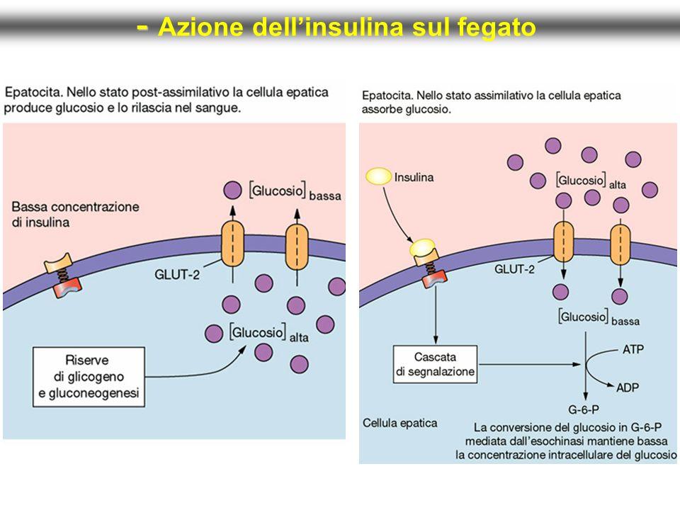 - Azione dell'insulina sul fegato