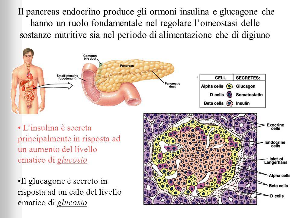 Il pancreas endocrino produce gli ormoni insulina e glucagone che hanno un ruolo fondamentale nel regolare l'omeostasi delle sostanze nutritive sia nel periodo di alimentazione che di digiuno