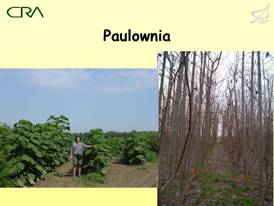Paulownia