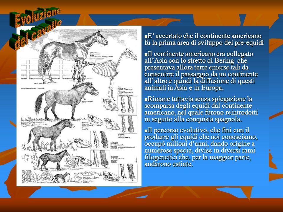 Evoluzione del cavallo