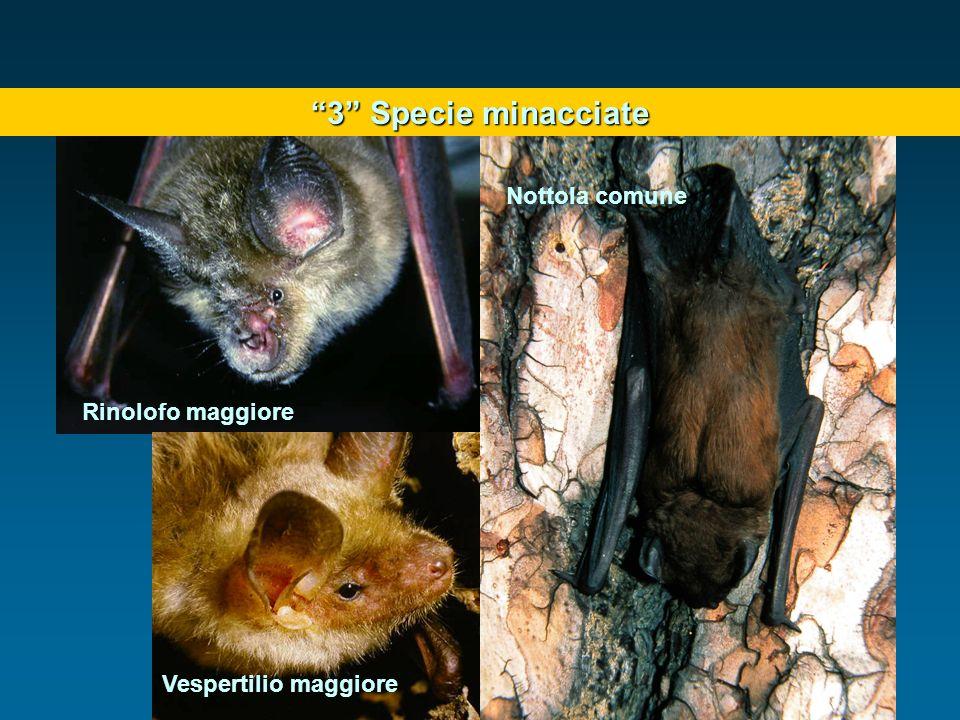 3 Specie minacciate Nottola comune Rinolofo maggiore