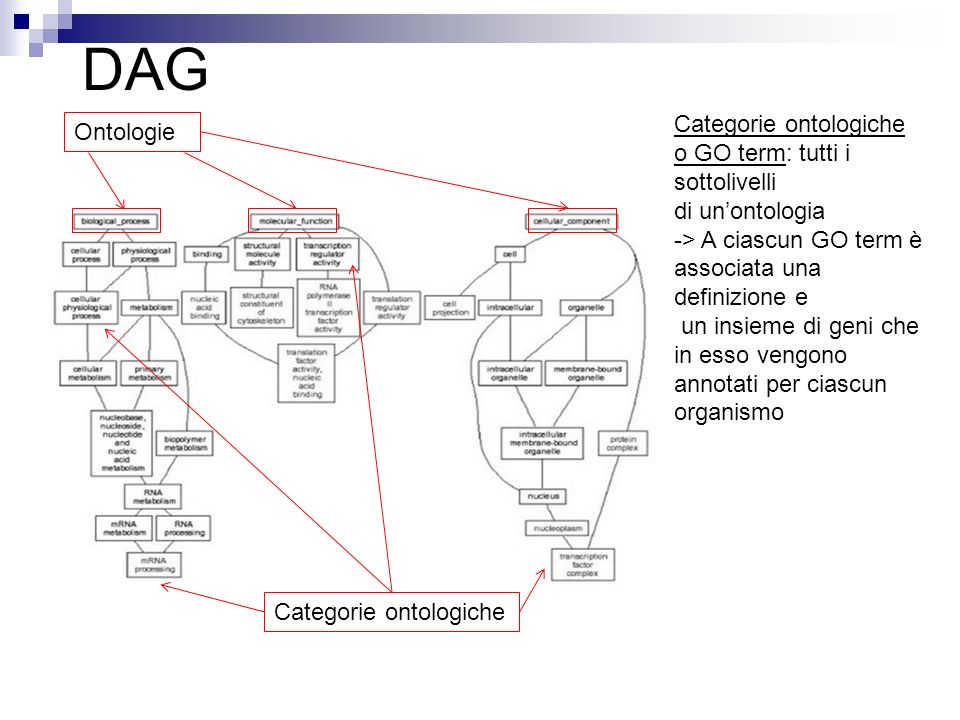 DAG Categorie ontologiche Ontologie o GO term: tutti i sottolivelli