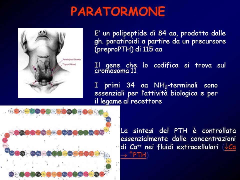PARATORMONE E' un polipeptide di 84 aa, prodotto dalle gh. paratiroidi a partire da un precursore (preproPTH) di 115 aa.