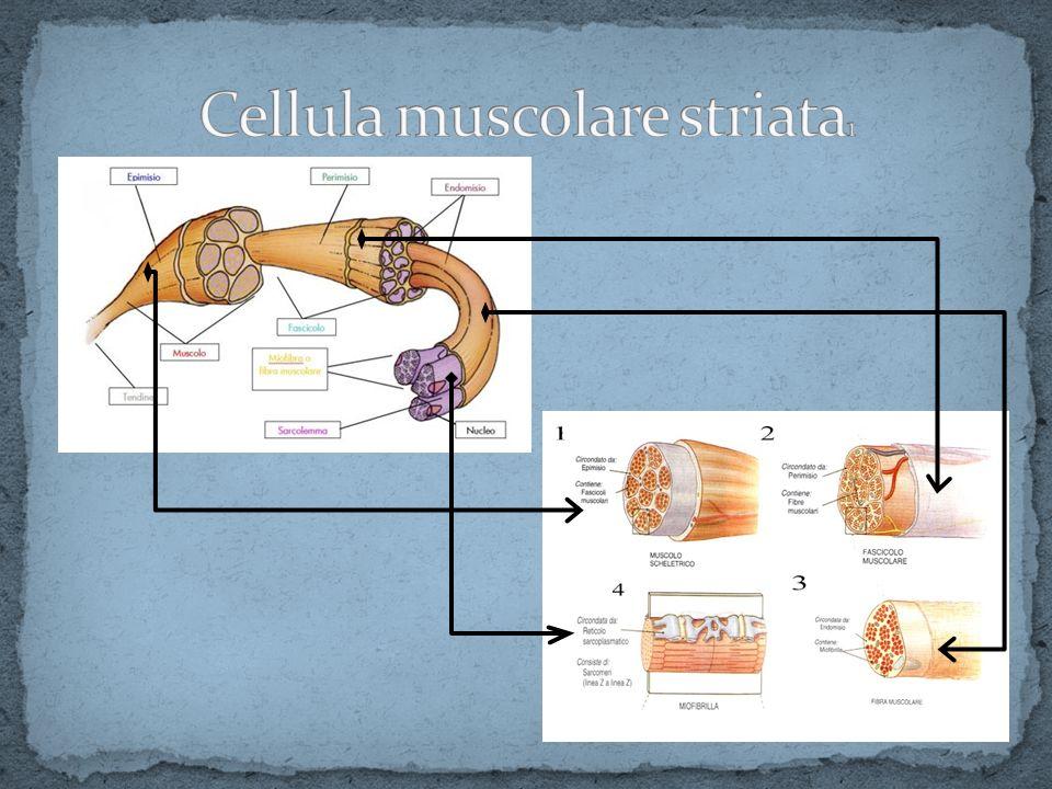 Cellula muscolare striata1