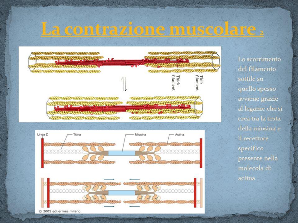 La contrazione muscolare 2