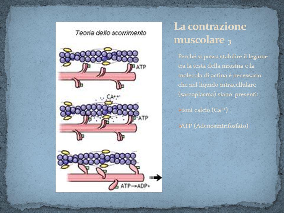 La contrazione muscolare 3