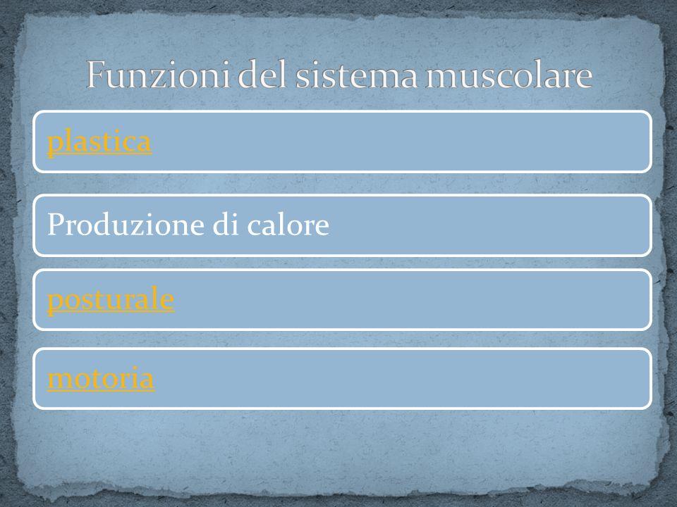Funzioni del sistema muscolare