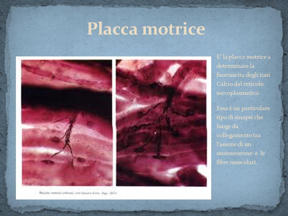 Placca motrice E' la placca motrice a determinare la fuoriuscita degli ioni Calcio dal reticolo sarcoplasmatico.