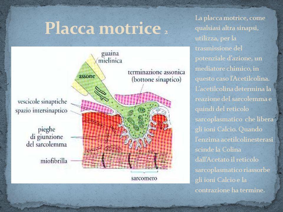 La placca motrice, come qualsiasi altra sinapsi, utilizza, per la trasmissione del potenziale d'azione, un mediatore chimico, in questo caso l'Acetilcolina.