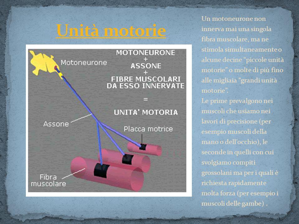 Un motoneurone non innerva mai una singola fibra muscolare, ma ne stimola simultaneamente o alcune decine piccole unità motorie o molte di più fino alle migliaia grandi unità motorie .