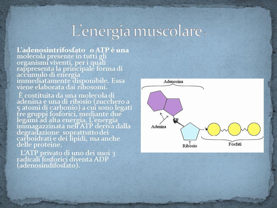 L'energia muscolare 1