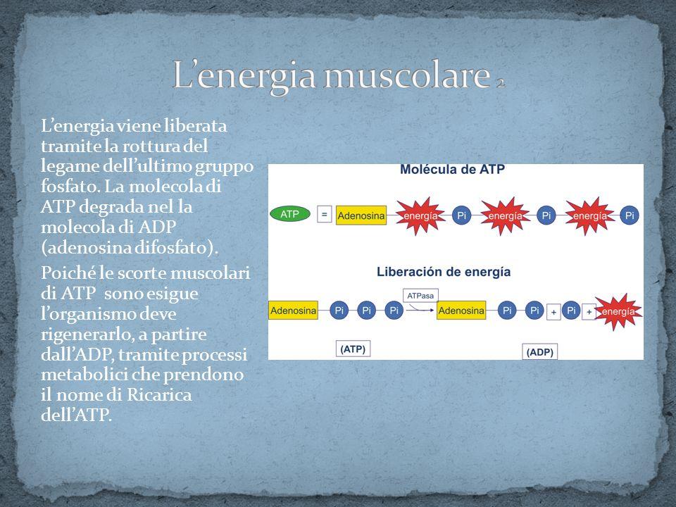 L'energia muscolare 2