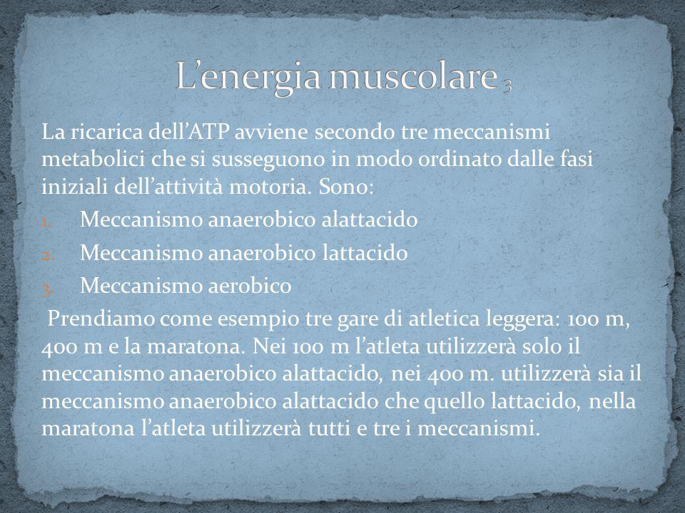 L'energia muscolare 3