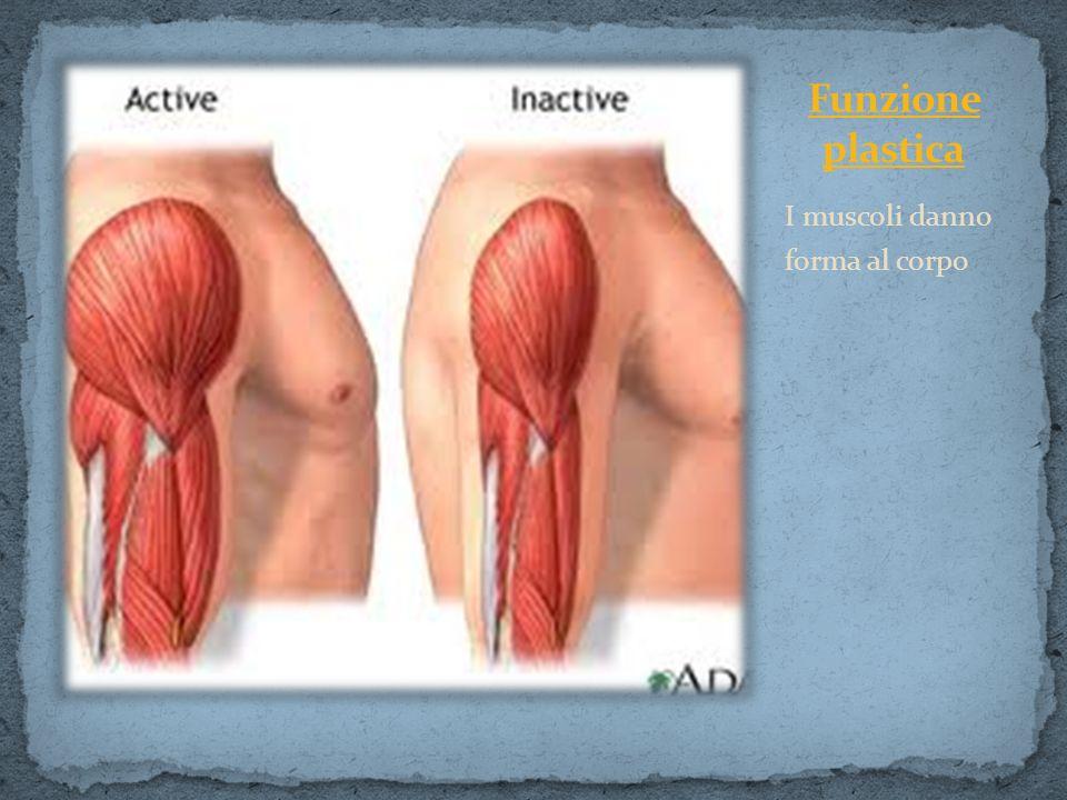 Funzione plastica I muscoli danno forma al corpo