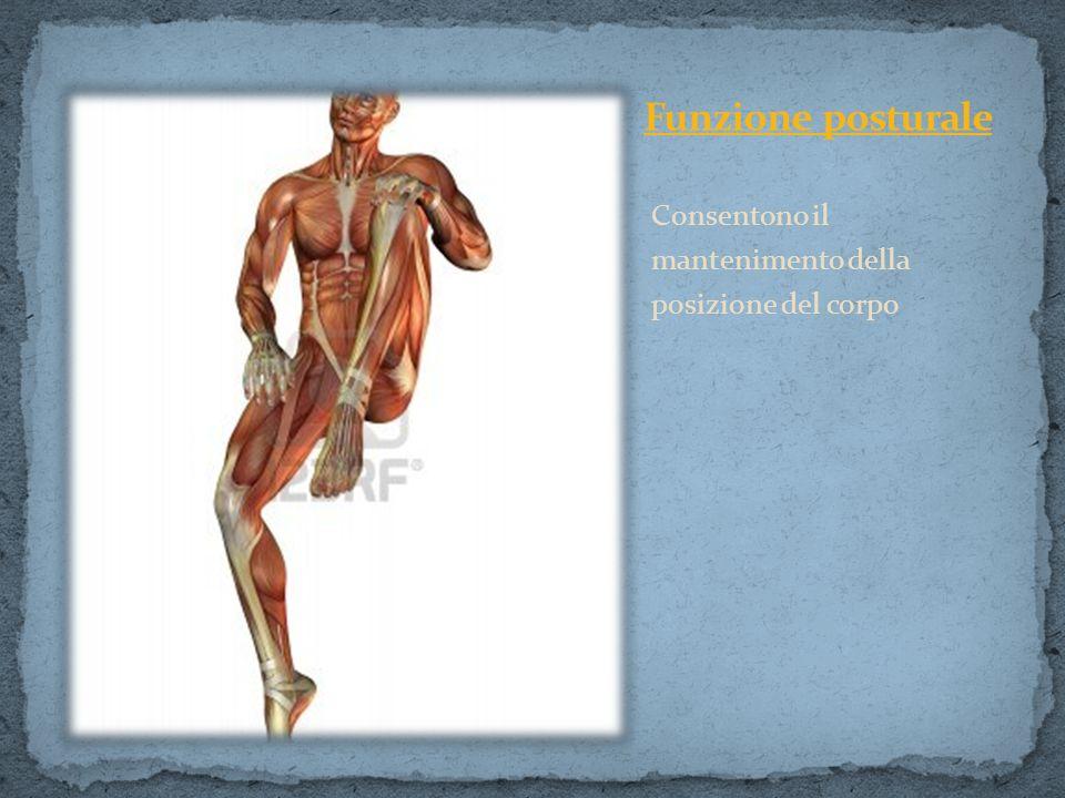 Funzione posturale Consentono il mantenimento della posizione del corpo