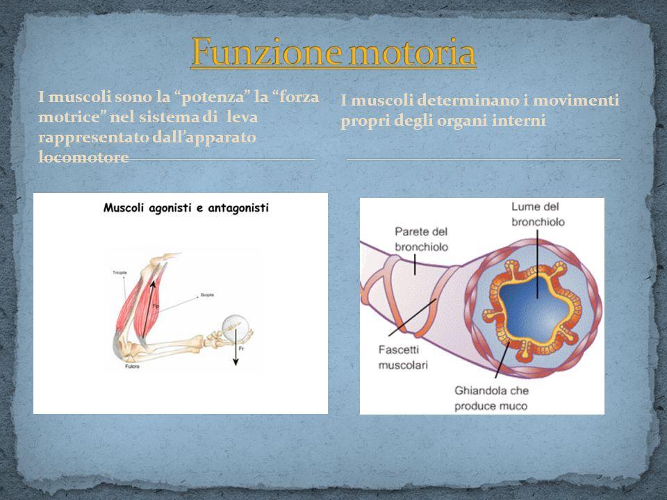 Funzione motoria I muscoli determinano i movimenti propri degli organi interni.
