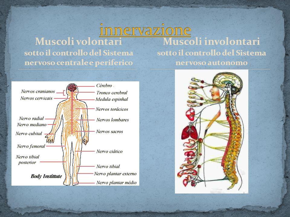 innervazione Muscoli volontari Muscoli involontari