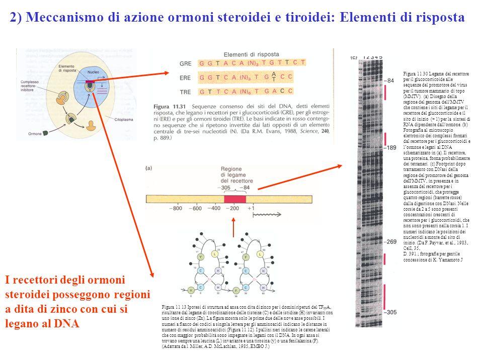2) Meccanismo di azione ormoni steroidei e tiroidei: Elementi di risposta