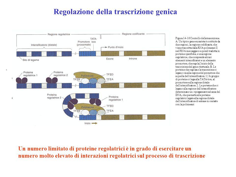 Regolazione della trascrizione genica