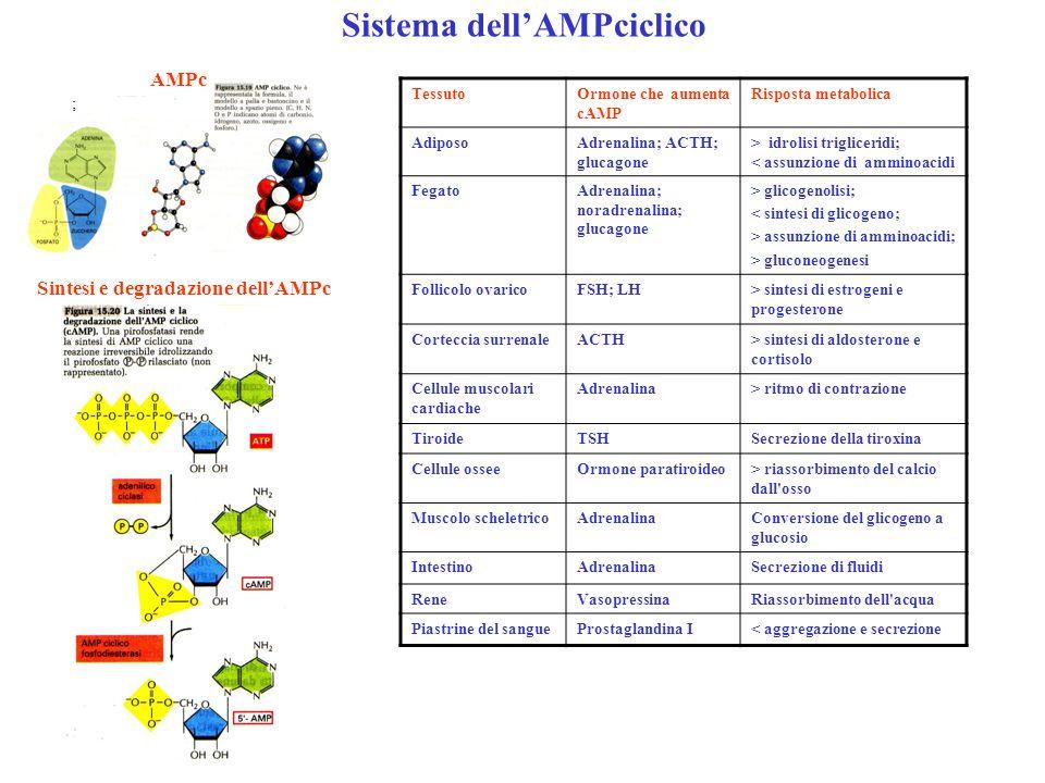 Sistema dell'AMPciclico