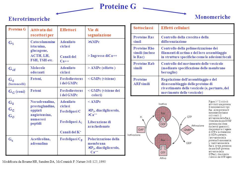 Proteine G Monomeriche Eterotrimeriche GS Golf Gtl (bastoncelli)