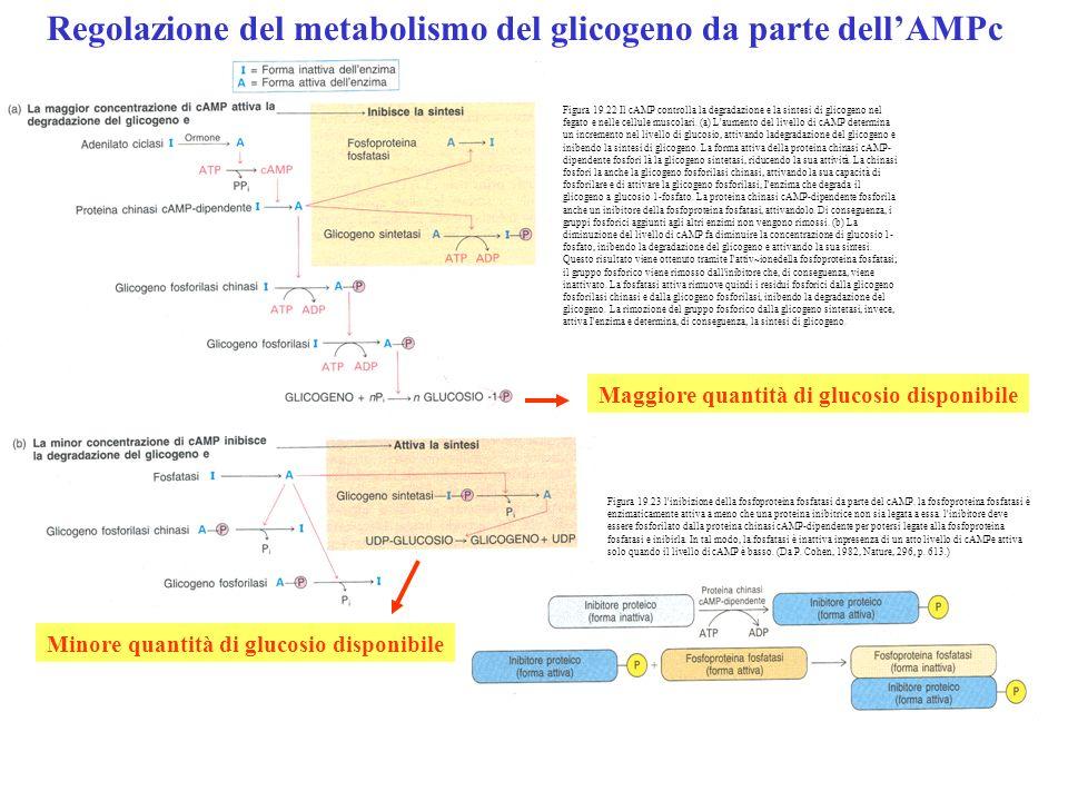 Regolazione del metabolismo del glicogeno da parte dell'AMPc