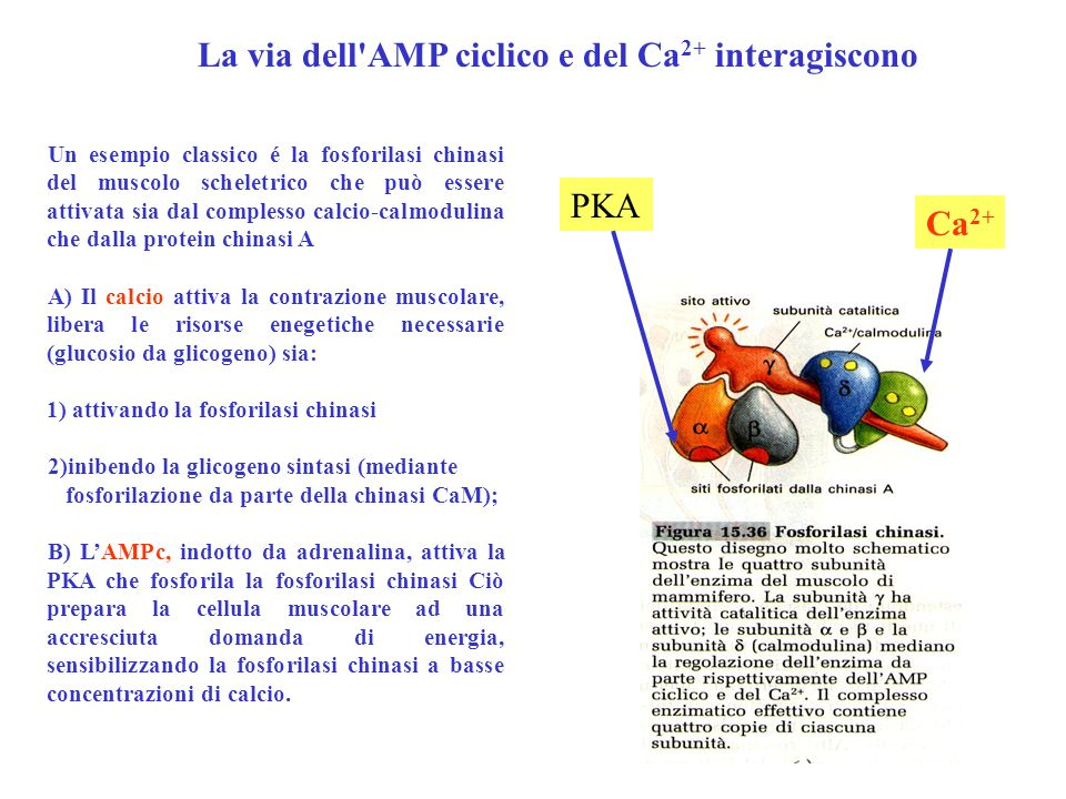La via dell AMP ciclico e del Ca2+ interagiscono