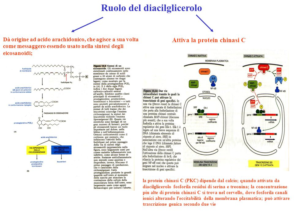 Ruolo del diacilglicerolo