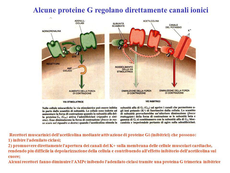 Alcune proteine G regolano direttamente canali ionici