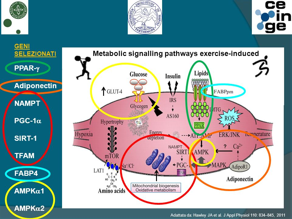 Metabolic signalling pathways exercise-induced