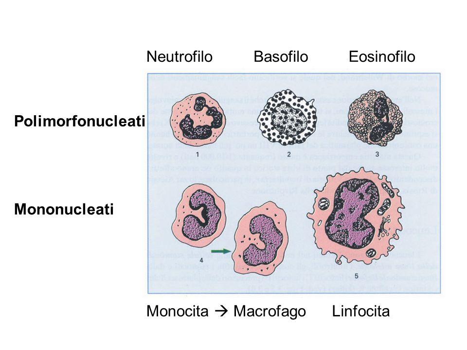 Neutrofilo Basofilo Eosinofilo Polimorfonucleati Mononucleati Monocita  Macrofago Linfocita