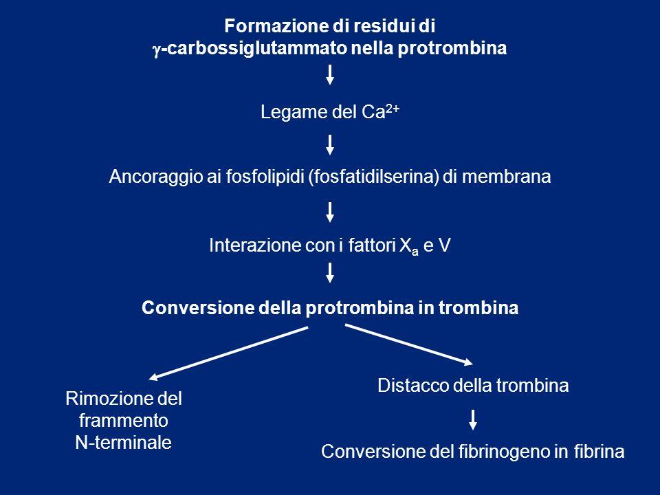 Formazione di residui di g-carbossiglutammato nella protrombina